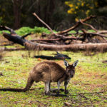wedding photographer image of kangaroo at donnelly river